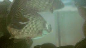 Karpfen schwimmt in einem Aquarium stock video