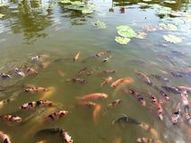 Karpfen vieler Fische im Lotosteich Lizenzfreie Stockfotografie