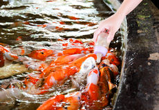 Karpfenfische lizenzfreies stockfoto