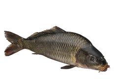 Karpfenfische getrennt auf weißem Hintergrund Lizenzfreie Stockfotos