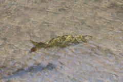 Karpfenfische im Wasser Stockbild