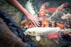 Karpfenfische, koi Fische lokalisiert, natürlich, niemand, hübsch, Felsen lizenzfreie stockbilder