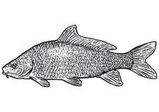 Karpfenfischillustration, Zeichnung, Stich, Linie Kunst, realistisch Stockbild