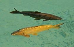 Karpfenfischpaare Lizenzfreie Stockbilder