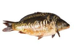Karpfenflussfische lokalisiert auf Weiß stockfotos