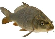 Karpfenkreuz mit koi Fischen Stockbilder