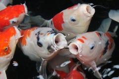 Karpkoifisk i klart och rent vatten i bästa sikt i Taipei, Taiwan Royaltyfria Foton