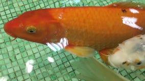 Karpsimning i akvariet stock video