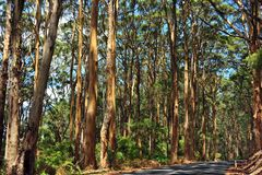 Karri Forest on side of road. stock photos