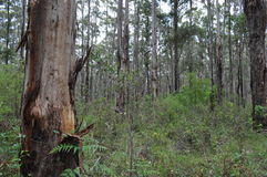 Karri and jarrah forest of the South West of Australia Royalty Free Stock Images