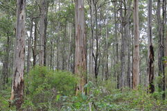 Karri and jarrah forest of the South West of Australia Royalty Free Stock Photo