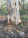 Karri Tree Image stock