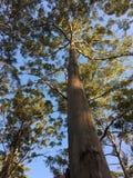 Karri Tree Stockfotografie