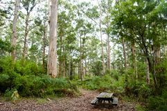 Karri Trees en parc national de Gloucester Photos stock