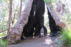 Karri Trees, West-Australië Royalty-vrije Stock Fotografie