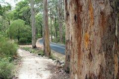 Karri TreesBoranup nationalpark västra Australien Arkivbilder