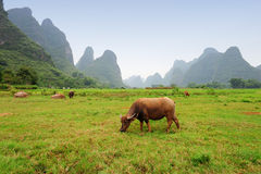 Karst scenery in Guangxi province, China. Famous karst mountain scenery in Guangxi, province (China). Water ox at foreground Royalty Free Stock Images