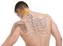 Kartbok C1, anatomi för rygg som C2 isoleras på vit royaltyfri bild