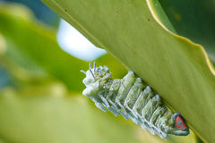 Kartbokmal (den Attacus kartboken) Caterpillar Arkivfoto