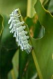 Kartbokmal (den Attacus kartboken) Caterpillar Royaltyfri Bild