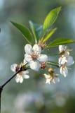 Karte mit Frühlingsblüte Lizenzfreie Stockfotografie