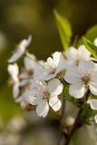 Karte mit Frühlingsblüte Stockfotografie