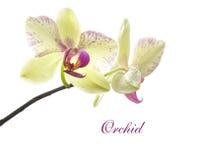 Karte mit schöner gelb-rosa Orchidee Stockfotografie