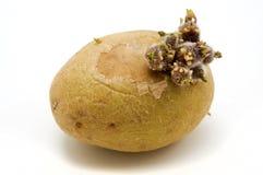 Kartoffel Lizenzfreies Stockbild