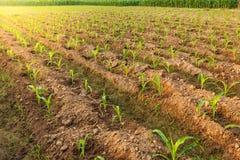 Kartoffel-Ackerland, Nord von Thailand Lizenzfreie Stockbilder