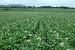Kartoffel-Blume Stockfoto