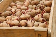 Kartoffel in der Holzkiste bevor dem Pflanzen Stockfoto