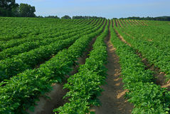 Kartoffel-Feld Stockfotos