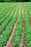 Kartoffel-Feld Lizenzfreies Stockfoto