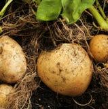 Kartoffel geerntet von einem Hausgarten Stockfoto