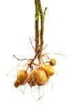 Kartoffel mit Wurzel lizenzfreies stockfoto