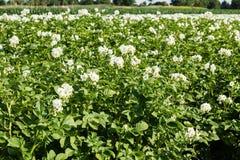 Kartoffelacker in der Blüte Stockbilder