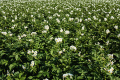 Kartoffelacker in der Blüte Stockfoto