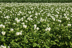Kartoffelacker in der Blüte Stockbild