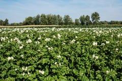 Kartoffelacker in der Blüte Lizenzfreie Stockbilder