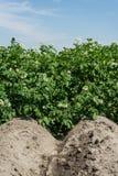 Kartoffelacker in der Blüte Stockfotografie