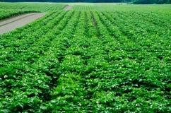 Kartoffelacker, Monokultur stockfotografie