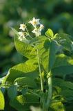 Kartoffelblume Stockfotografie