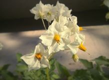 Kartoffelblumen Stockfotos