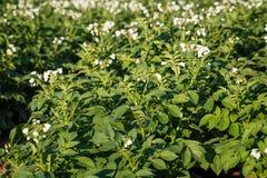Kartoffelblumen, die auf dem Gebiet blühen Stockbild