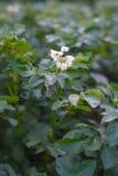 Kartoffelbusch, der mit weißen Blumen auf dem Gartenbett blüht Stockbilder