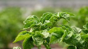 Kartoffelbusch im Garten stock video