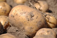 Kartoffelernte Lizenzfreie Stockfotografie