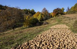 Kartoffelernte in der Herbstsaison an der Landschaft lizenzfreies stockbild