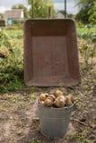 Kartoffelernte in der Metallländlichen Laufkatze erfassend, karren Sie und altes buc Stockbilder
