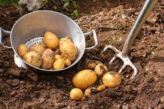 Kartoffelernte mit Stangenspaten Stockfotos